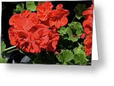 Large Red Begonia Bloom Greeting Card