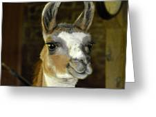 Larry The Lama Greeting Card