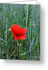 Last Poppy Greeting Card