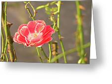 Late Beauty Between Thorns Greeting Card