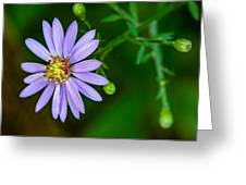 Late Purple Aster Greeting Card