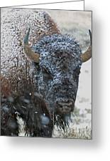 Early Spring Late Snow Buffalo Greeting Card