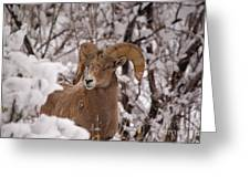 Late Winter Big Horns Greeting Card