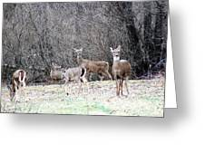 Late Winter Whitetails Greeting Card