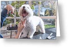 Laughing Adorable White Dog Is Groomed Greeting Card