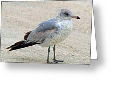 Laughing Gull Greeting Card