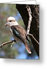 Laughing Kookaburra A Greeting Card