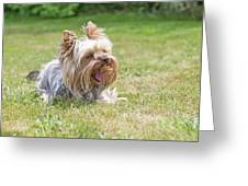 Laughing Yorkshire Terrier Greeting Card
