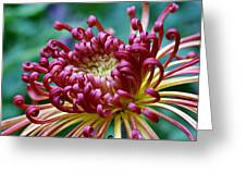 Lava Chrysanthemum Greeting Card
