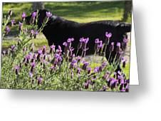 Lavender And Black Lab Greeting Card