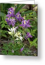 Lavender And White Columbine Greeting Card