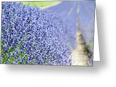 Lavender Blossoms Greeting Card