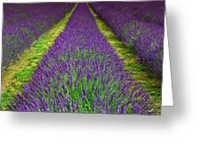 Lavender Dream Greeting Card