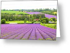 Lavender Farms In Sevenoaks Greeting Card