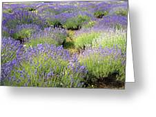 Lavender Field, Tihany, Hungary Greeting Card