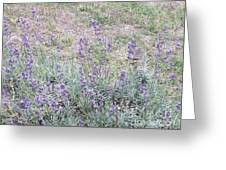 Lavender Fields Forever Greeting Card