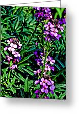 Verbena At Pilgrim Place In Claremont-california   Greeting Card