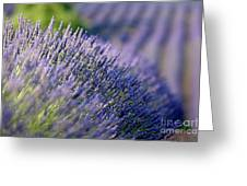 Lavender Flowers In A Field Greeting Card