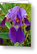 Lavender Iris At Pilgrim Place In Claremont-california  Greeting Card