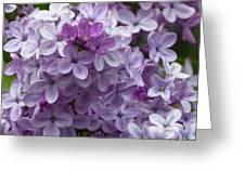 Lavender Lilacs Greeting Card