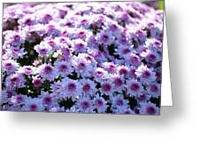 Lavender Mums Greeting Card