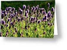 Lavender Pano Greeting Card