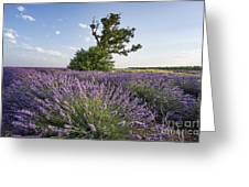 Lavender Provence  Greeting Card by Juergen Held