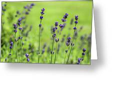 Lavender Spikes  Greeting Card