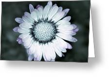 Lawn Daisy - Toned Greeting Card