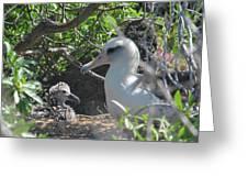 Laysan Albatross Chick Greeting Card