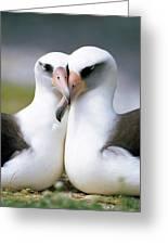 Laysan Albatross Phoebastria Greeting Card