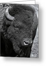 Lazy Buffalo Greeting Card by Clinton Nelson
