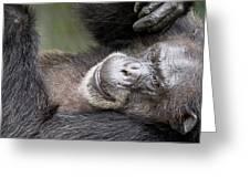 Lazy Chimp - Lowry Park Zoo Greeting Card
