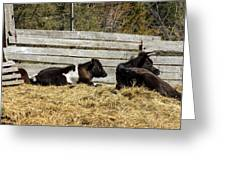 Lazy Cows And Weathered Wood Greeting Card