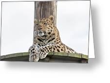 Lazy Leopard Greeting Card