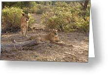 Lazy Samburu Afternoon Greeting Card