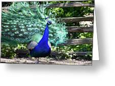 Le Peacock Greeting Card
