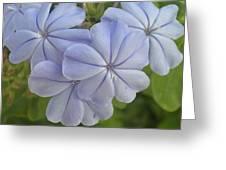 Leadwort Greeting Card