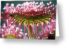 Leaf Of Sundew Greeting Card by Nuridsany et Perennou and Photo Researchers