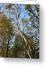 Leaning Birch Greeting Card
