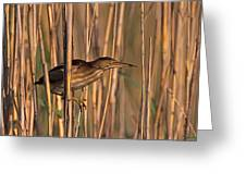 Least Bittern Greeting Card