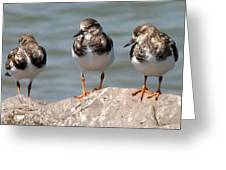 Least Sandpipers Greeting Card