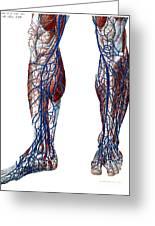Leg Blood Vessels, Anatomical Greeting Card