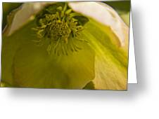 Lenten Rose Interior Greeting Card