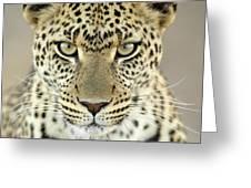 Leopard Panthera Pardus Female Greeting Card