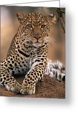 Leopard Panthera Pardus, Masai Mara Greeting Card