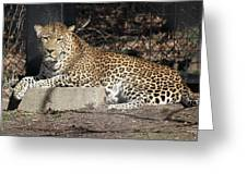 Leopard Relaxing Greeting Card