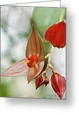 Lepanthes Maduroi Orchid Greeting Card