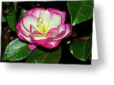 Leslie Ann - Sasanqua Camellia 006 Greeting Card