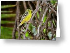 Lesser Goldfinch H57 Greeting Card